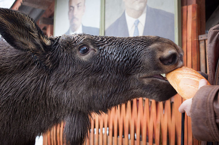 Необычный питомец - лось по имени Гриша