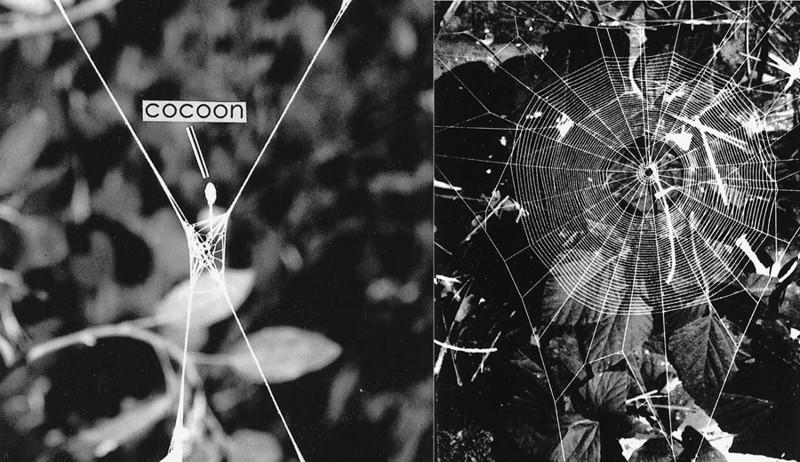 1. Hymenoepimecis argyraphaga выживание, жизнь, паразиты, природа, смерть