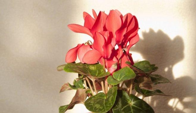 Пышный цвет круглый год: как правильно ухаживать за цикламеном