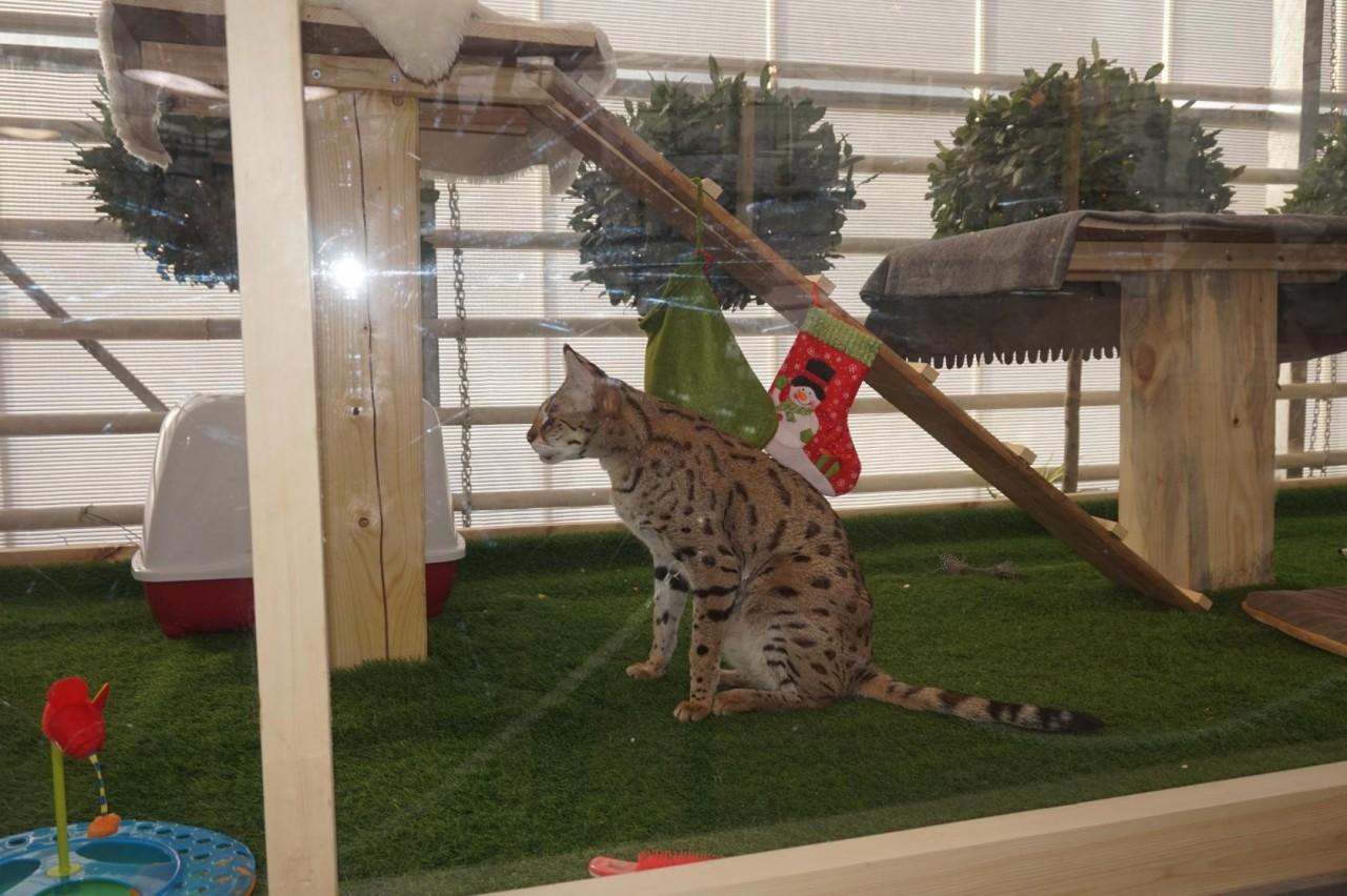 Домашние тропические кошки в Аптекарском огороде