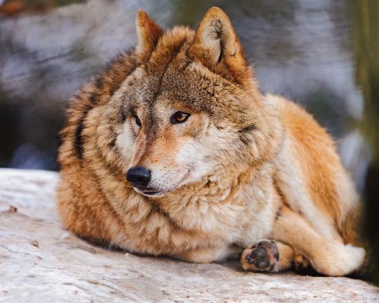 Волчье логово