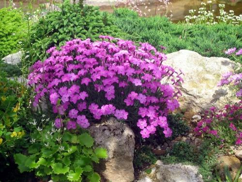 Компактная альпийская гвоздика на вашей альпийской горке: что нужно знать о выращивании цветка