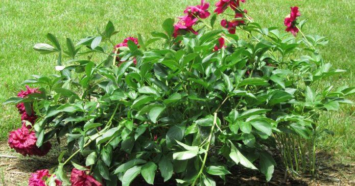 Уход за пионовыми кустами после цветения