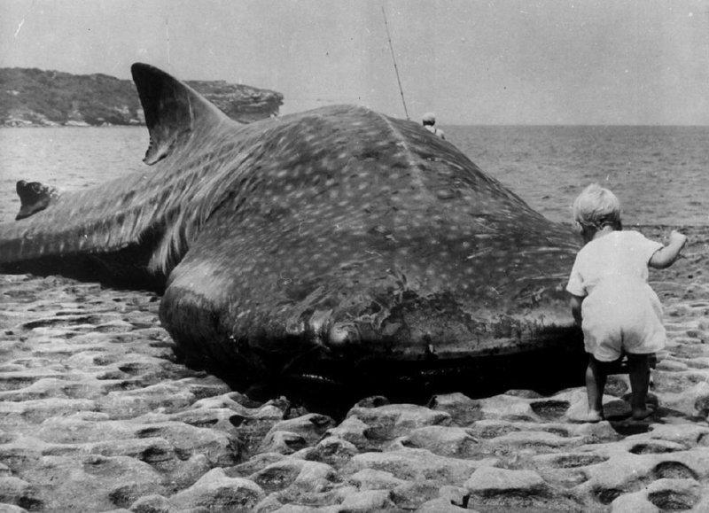 Маленький ребенок и гигантская китовая акула выброшенная на побережье Австралии, 1965 г. история, люди, мир, фото