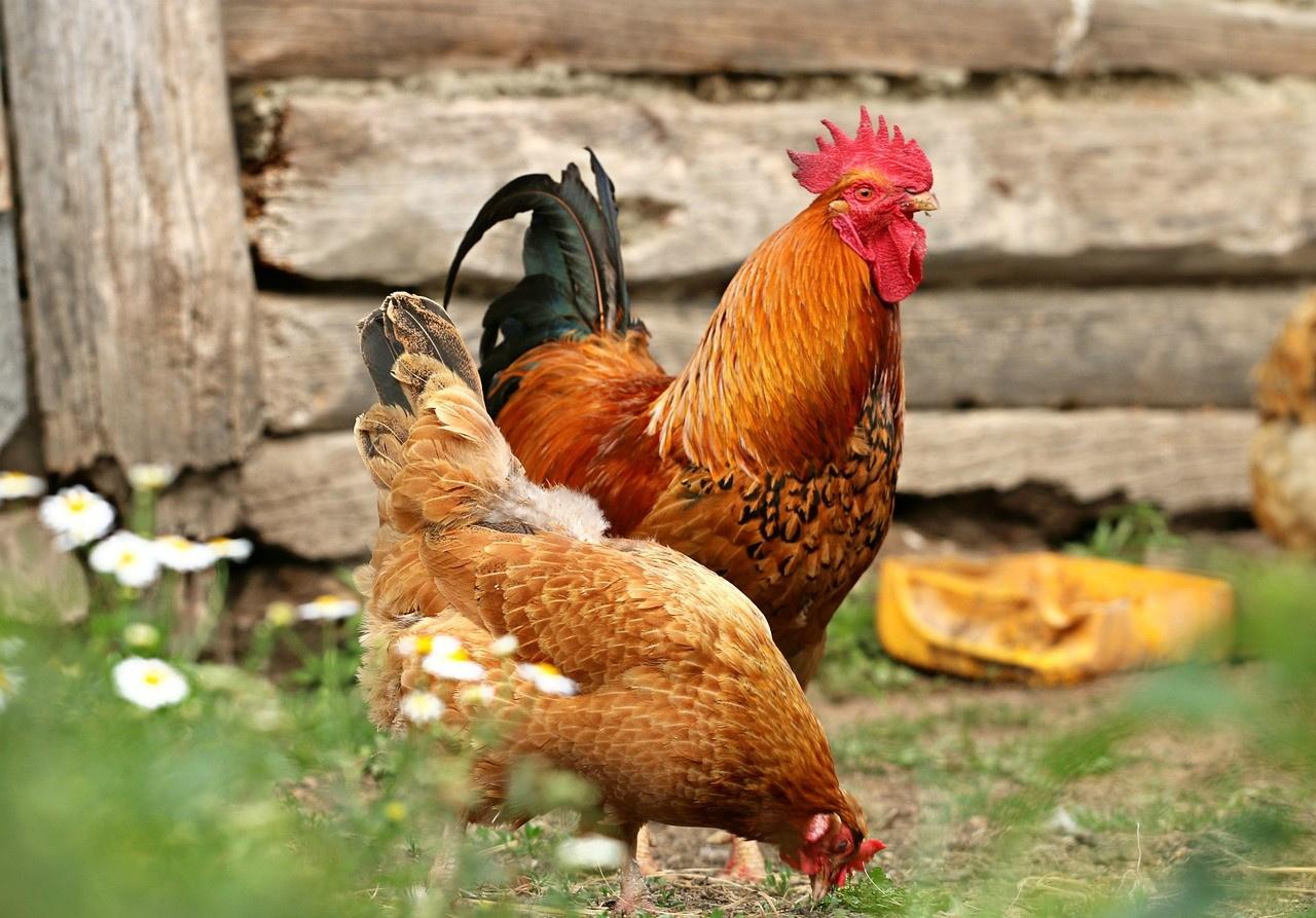 Японцы требуют российской курятины: на что решили пойти власти Японии