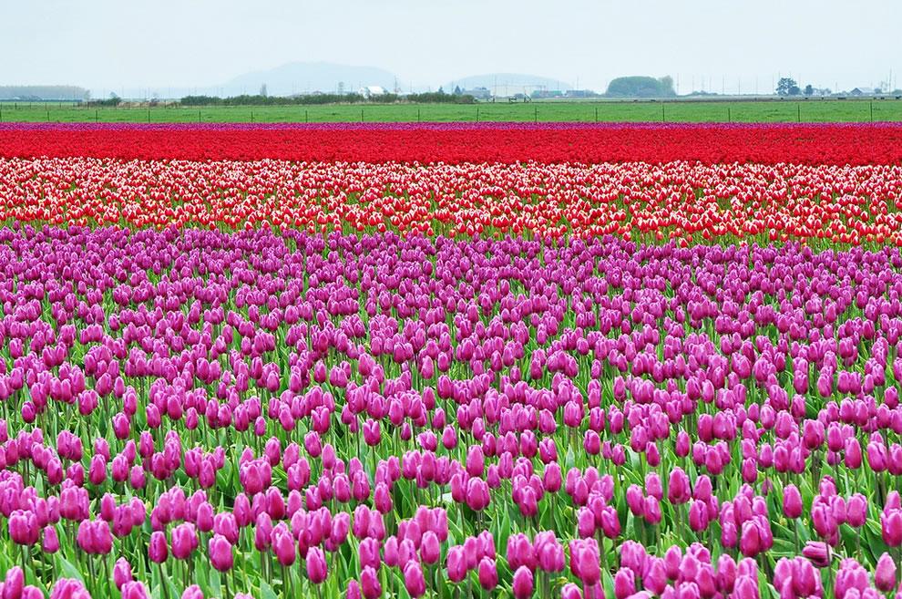 tulips23 Самые яркие тюльпаны со всего света