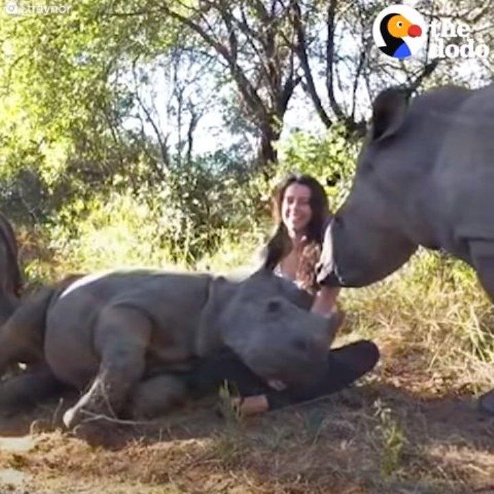 Малыш носорога потерял маму, а девушка ему заменила родительницу