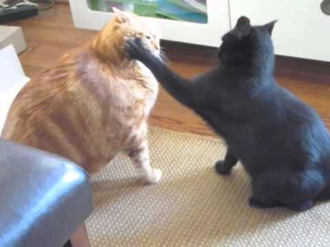 Кот, весивший 19 килограмм, переборол ожирение. Не каждый человек так сможет!