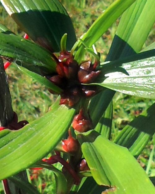 Как сажать бульбочки лилии 4