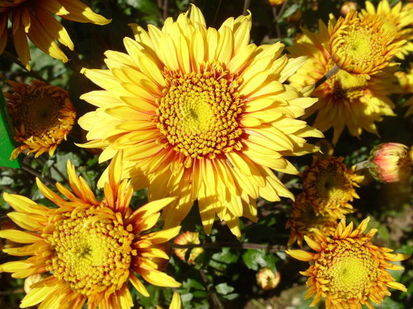 Хризантема сорт Солнышко