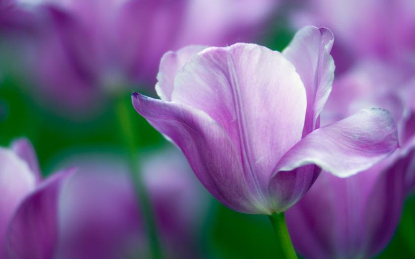 тюльпаны, цветы, фиолетовые