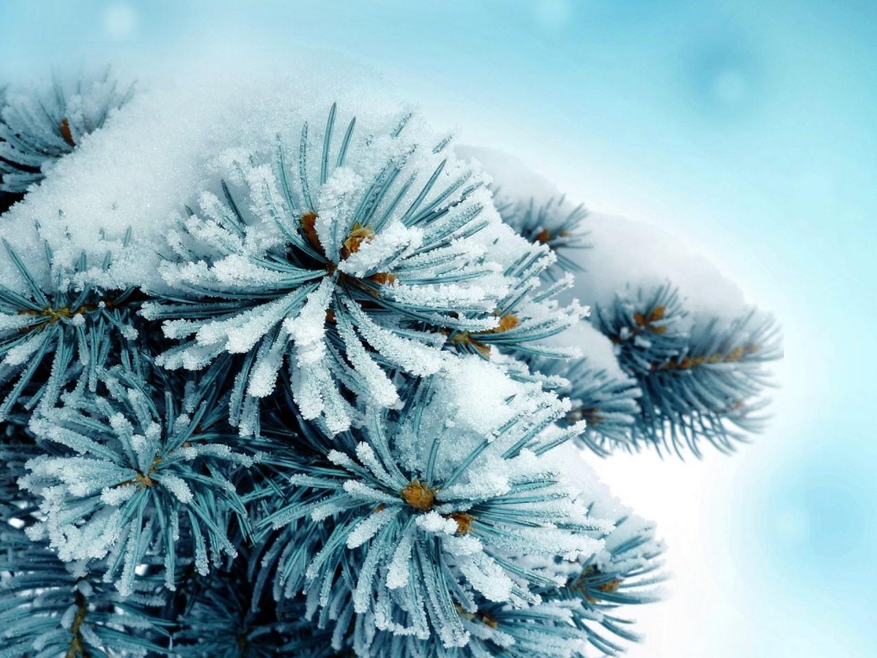 1280x800 снег, сосна, зима, Природа обои на рабочий стол 13530