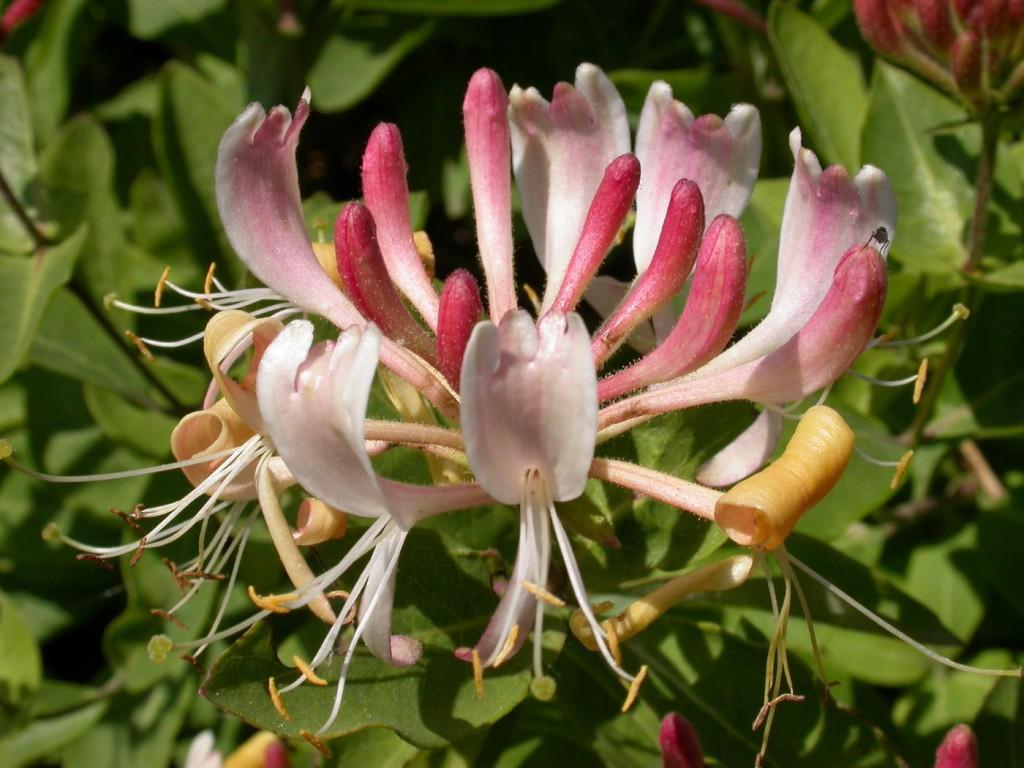 Жимолость вьющаяся — изысканное украшение сада