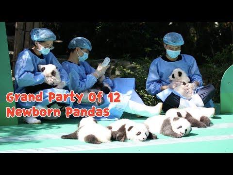 Пушистые красавчики-панды
