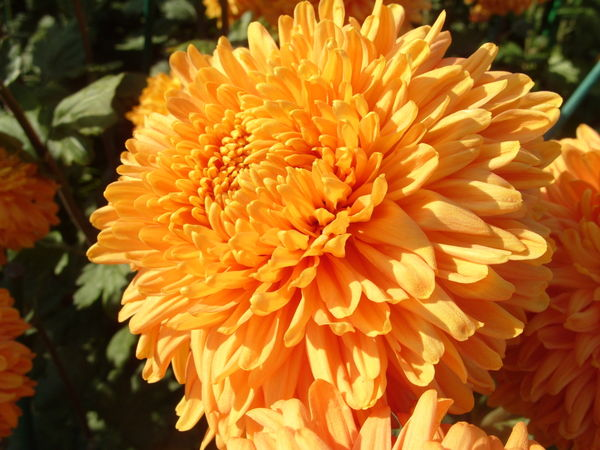 Хризантема сорт Свет Зарниц