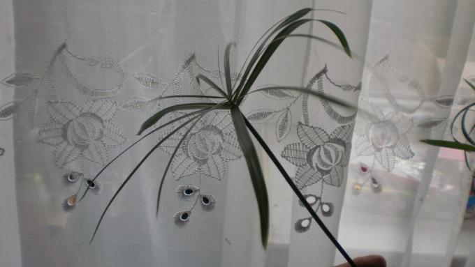Зонтик циперуса