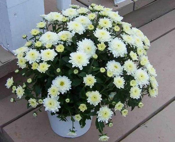 Как вырастить хризантему из …
