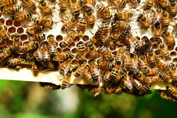 Как привлечь пчел на участок