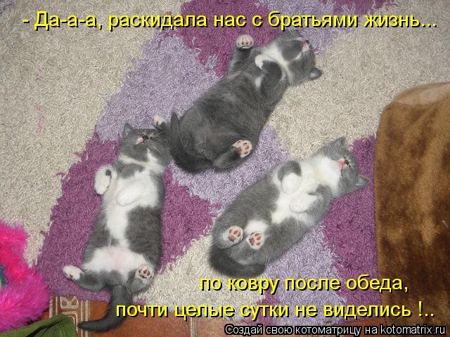 Котоматрица: по ковру после обеда, почти целые сутки не виделись !..  - Да-а-а, раскидала нас с братьями жизнь...
