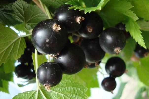Черная смородина - копилка витаминов и лекарство