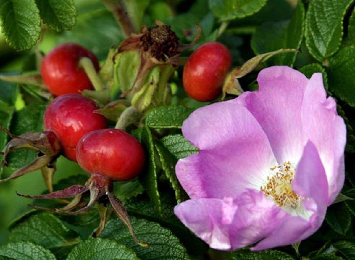 Шиповник - король лекарственных растений