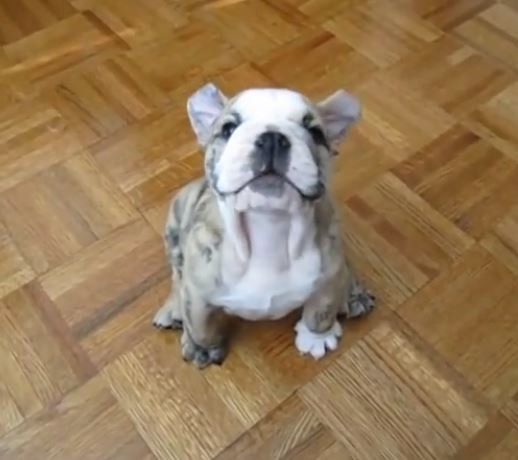 Забавная реакция щенка на запрет хозяйки забраться к ней на диван