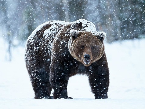 Кабаны и медведи дают отпор охотникам