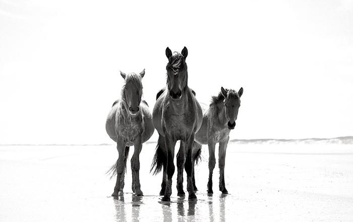 15 чёрно-белых фотографий диких лошадей, ради которых туристы стремятся на далёкий остров