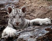 Белые тигры 21