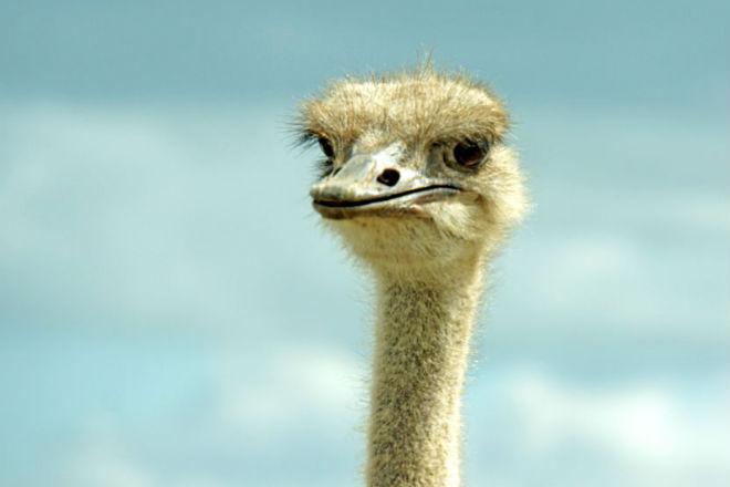 Турист задирал страуса и пол…
