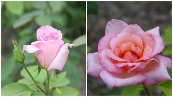 Розы флорибунда: розовые и красные. Фото лучших