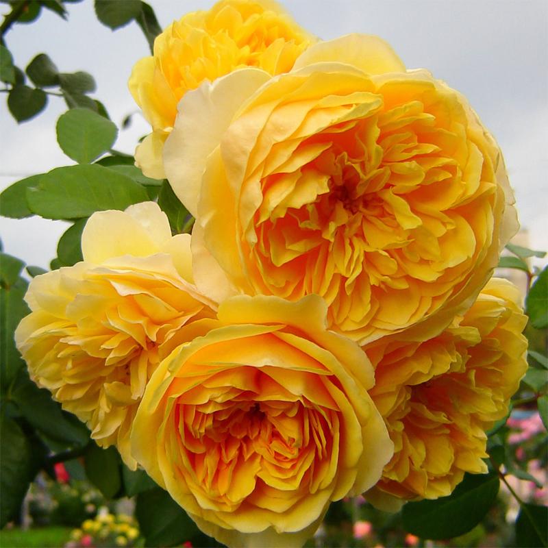 Благородная желтая роза Graham Thomas