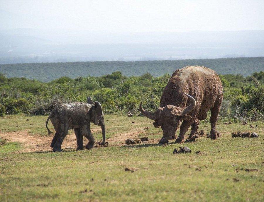 Слонёнок захотел поиграть с быком