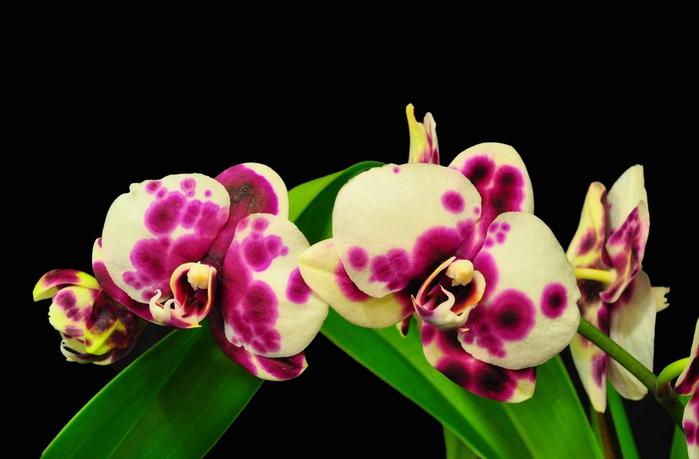 5230261_orhideya_dop_plus3 (700x459, 144Kb)