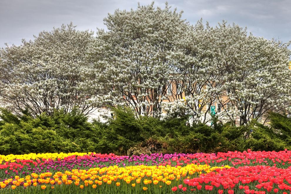 tulips16 Самые яркие тюльпаны со всего света