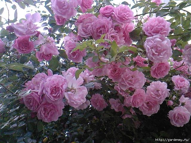 Как создать новый сорт розы:…