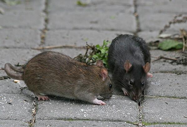 Крыс больше нет, можете спат…