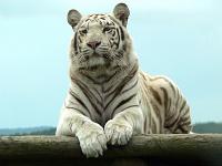 Белые тигры 27
