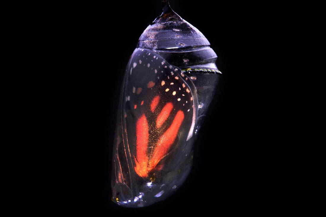 1634 Метаморфозы и рождение бабочки монарха
