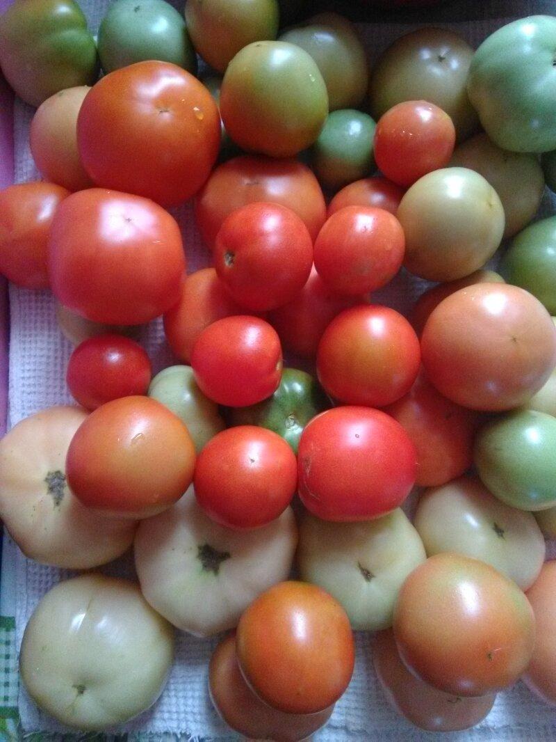 Как растут помидоры в Подмосковье на 6-ти сотках