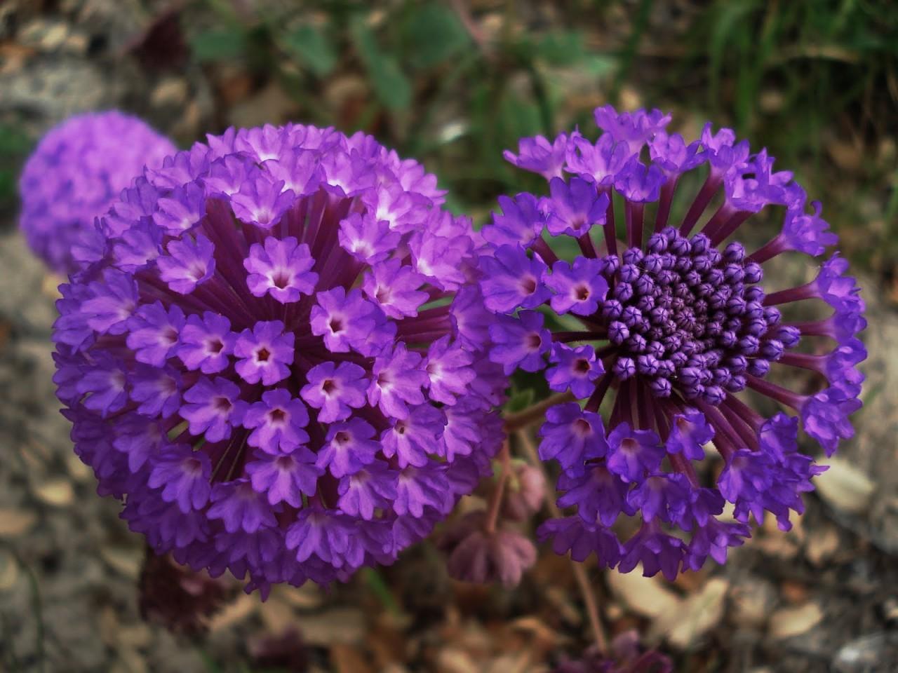 Аброния - неприхотливый цветок из американских субтропиков