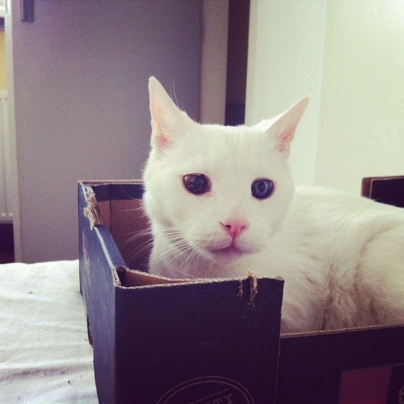 Heterochromia05 Разноглазые кошки