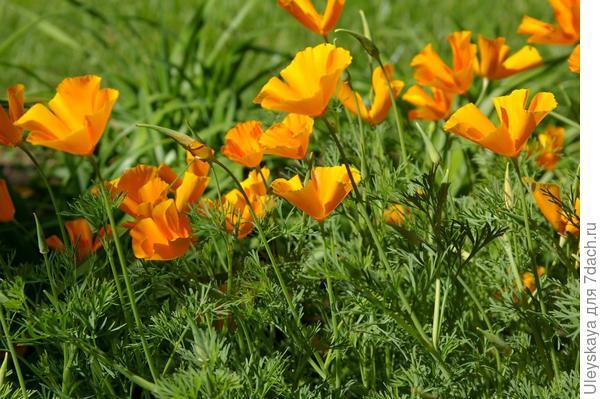 Эшшольция красиво цветет даже на бедных почвах, фото автора