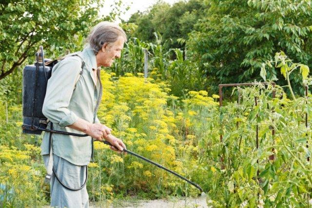 мужчина обрабатывает огород препаратом сенной палочки