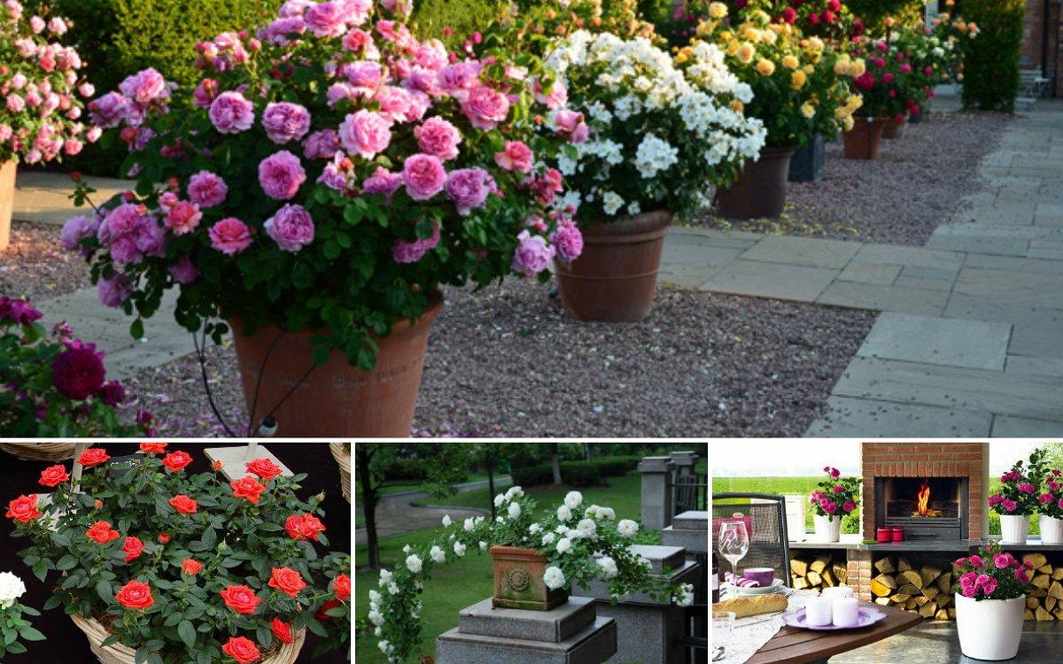 : Розы в контейнерах