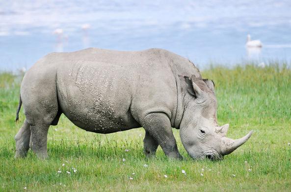 Созданы эмбрионы с генами последнего северного белого носорога