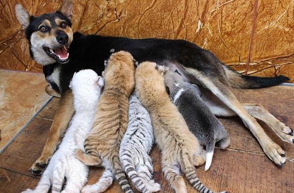 Собака усыновила четырех тигрят