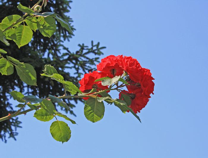nic_bel: Кто любит розы?