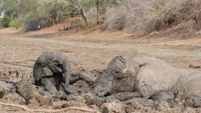 Спасение слоненка и его мамы