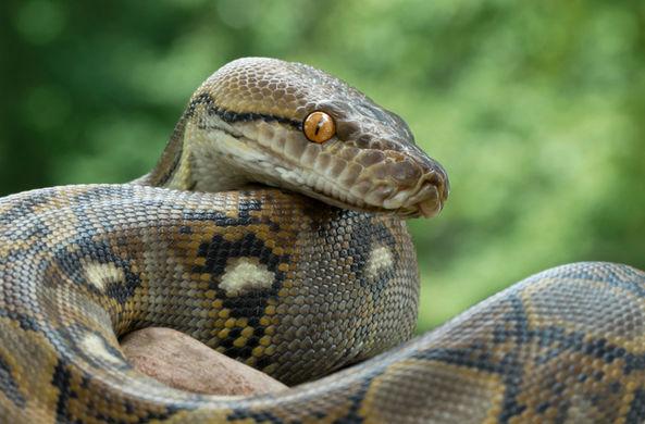 Ловец змей поймал очень толстого питона